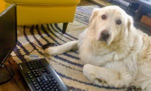 Shadow the Great Pyrenees is head of security at Toronto IT support company Inderly